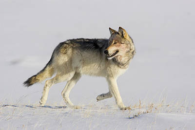 Photograph - Wild Yellowstone Wolf In Subzero Weather by Mark Miller
