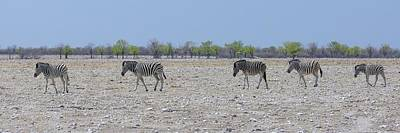Photograph - Wild Zebra Panoramic by Ernie Echols