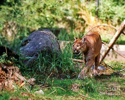 Photograph - Wildcat by Ansel Price