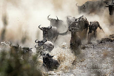 Photograph - Wildebeest Herd Crossing The Mara River by Jane Rix