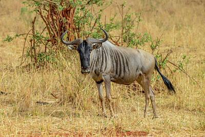 Photograph - Wildebeest In Ngorongoro Crater by Marilyn Burton