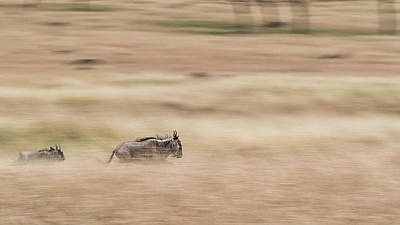 Photograph - Wildebeest Running Through Grasslands - Panning Blur by Susan Schmitz