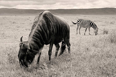 Wildebeest And Zebra Art Print