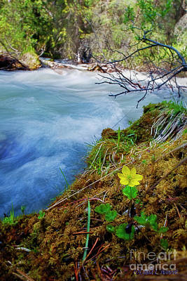 Photograph - Wildflower By Mountain Stream by David Arment