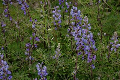 Photograph - Wildflower Lupines by Tim Good