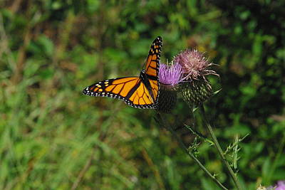 Photograph - Wildflower Monarch by Robyn Stacey
