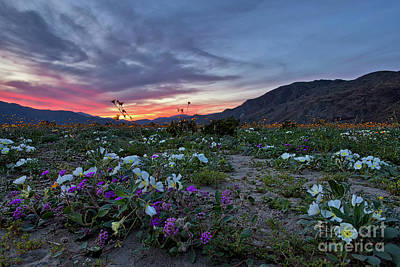 Photograph - Wildflower Super Bloom Sunset In Anza Borrego Desert by Sam Antonio Photography