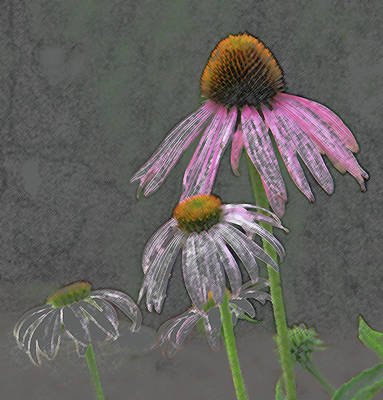 Daisy Drawing - Wildflower Talk by Lonnie Tapia