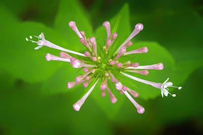 Photograph - Sitka Valerian_050716_0096 by Brian Snyder