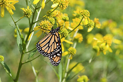Photograph - Wildflowers And A Butterfly by Jill Lang