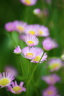 Photograph - Common Fleabane Flowers by Christina Rollo