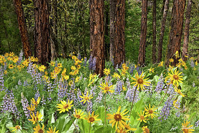 Photograph - Balsamroot And Lupine In A Ponderosa Pine Forest by Jeff Goulden