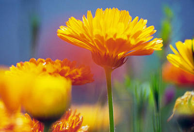 Flower Blooms Photograph - Wildflowers In Bloom, Soft Focus Close by Panoramic Images