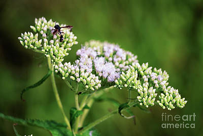 Photograph - Wildflowers Of Acadia by Elizabeth Dow