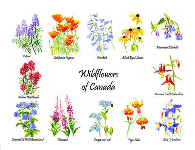Lupine Painting - Wildflowers Of Canada by Sharon Freeman