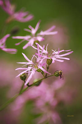 Wildflowers - Ragged Robin Art Print by Christina Rollo