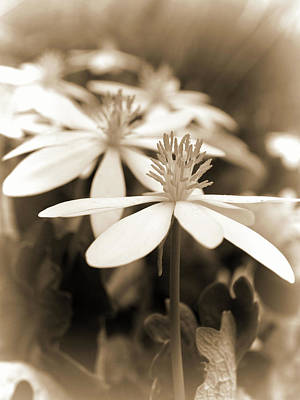 Photograph - Wildflower...sepia by Tom Druin