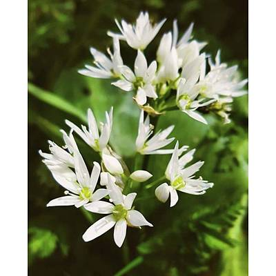 Photograph - #wildgarlic #flower #woodland #walks by Natalie Anne
