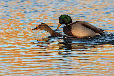 Wildlife Love Ducks  Art Print