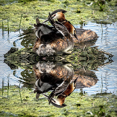 Photograph - Wildlife Nesting Reflection  by Cliff Norton
