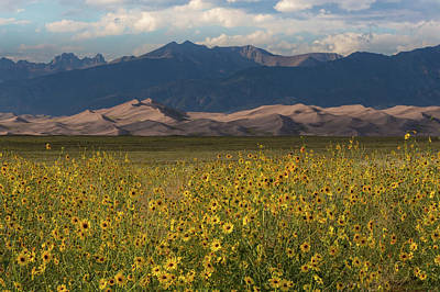 Sunflowers Royalty-Free and Rights-Managed Images - Wild Sunflowers Shine in the Grasslands of the Great Sand Dunes N by Bridget Calip