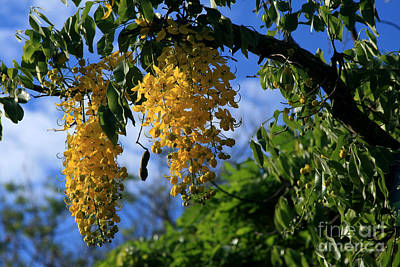 Photograph - Wilhelmina Tenney Rainbow Shower Tree Makawao Maui Flowering Trees Of Hawaii by Sharon Mau