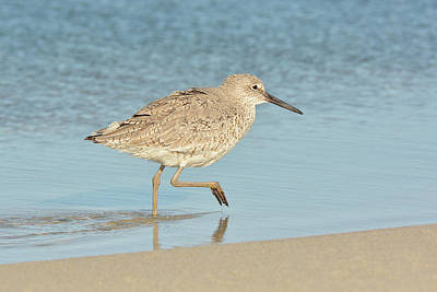 Photograph - Willet by Alan Lenk