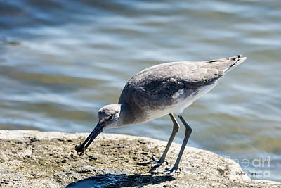 Photograph - Willet And Crab Meal by Debra Martz