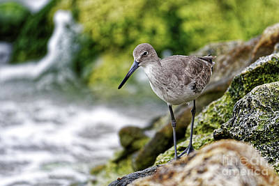 Photograph - Willet By The Sea by Paul Mashburn