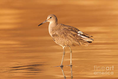 Bird Photograph - Willet by Clarence Holmes