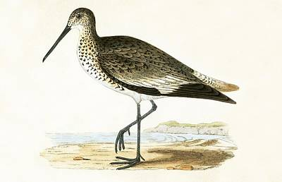 Sandpiper Drawing - Willet by English School