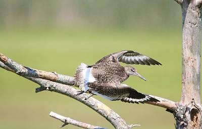 Photograph - Willet Flying by Karen Silvestri