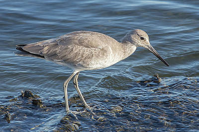 Photograph - Willet In Winter Plumage by Richard Goldman