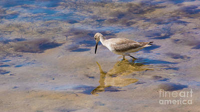 Photograph - Willet No.1 by John Greco