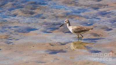 Photograph - Willet No.2  by John Greco