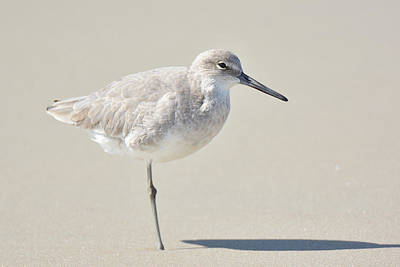 Photograph - Willet On One Leg by Alan Lenk