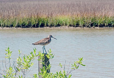 Photograph - Willet On Pileing by Robert Brown