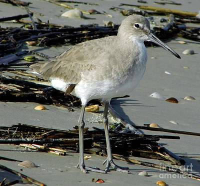 Photograph - Willet On The Beach by D Hackett