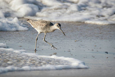 Sebastian Florida Photograph - Willet On The Run by Dawn Currie
