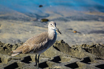 Photograph - Willet by Randy Bayne