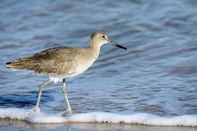 Photograph - Willet Strolling The Beach by Debra Martz