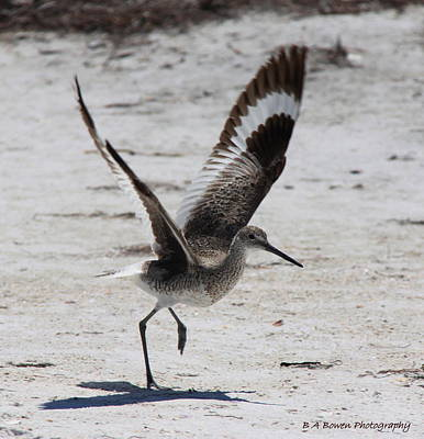 Photograph - Willet Take-off by Barbara Bowen