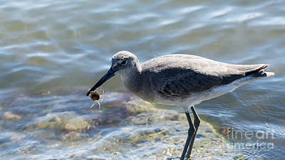 Photograph - Willet With A Crab by Debra Martz
