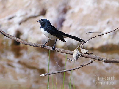 Photograph - Willie Wagtail by Phil Banks