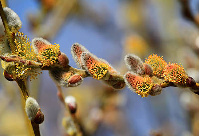 Pussy Willow Photograph - Willow Buds by Donna Kennedy