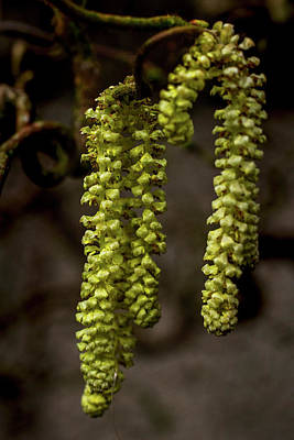 Photograph - Willow Catkins by Keith Elliott