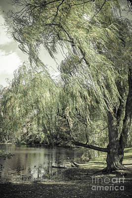 Photograph - Willow by Colleen Kammerer