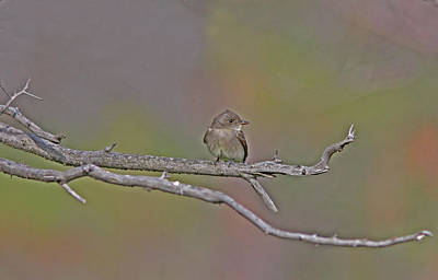 Rust Wall Art - Photograph - Willow Flycatcher by Gary Wing