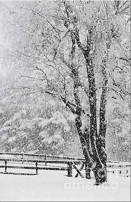 Photograph - Willow In Winter by Linda Drown