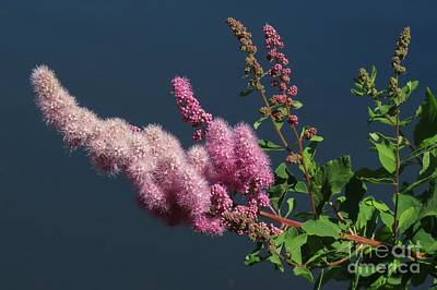 Photograph - Willow-leaved Bridewort by Frank Townsley